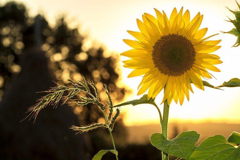 sunflower, summer, yellow